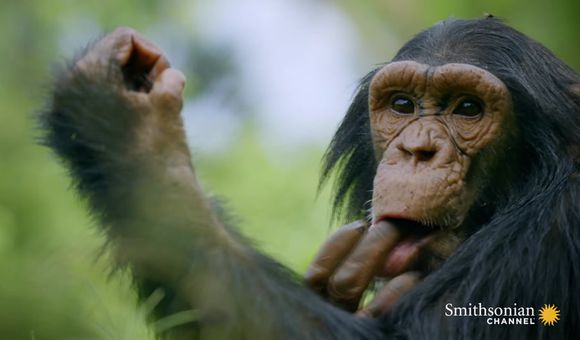 Preview thumbnail for video'Like Humans, Chimps Learn Behavior From One Another