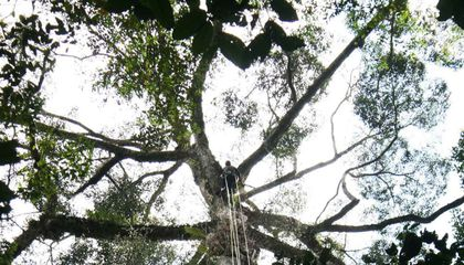"""Researchers Discover World's Tallest Known Tropical Tree in Sabah's """"Lost World"""""""