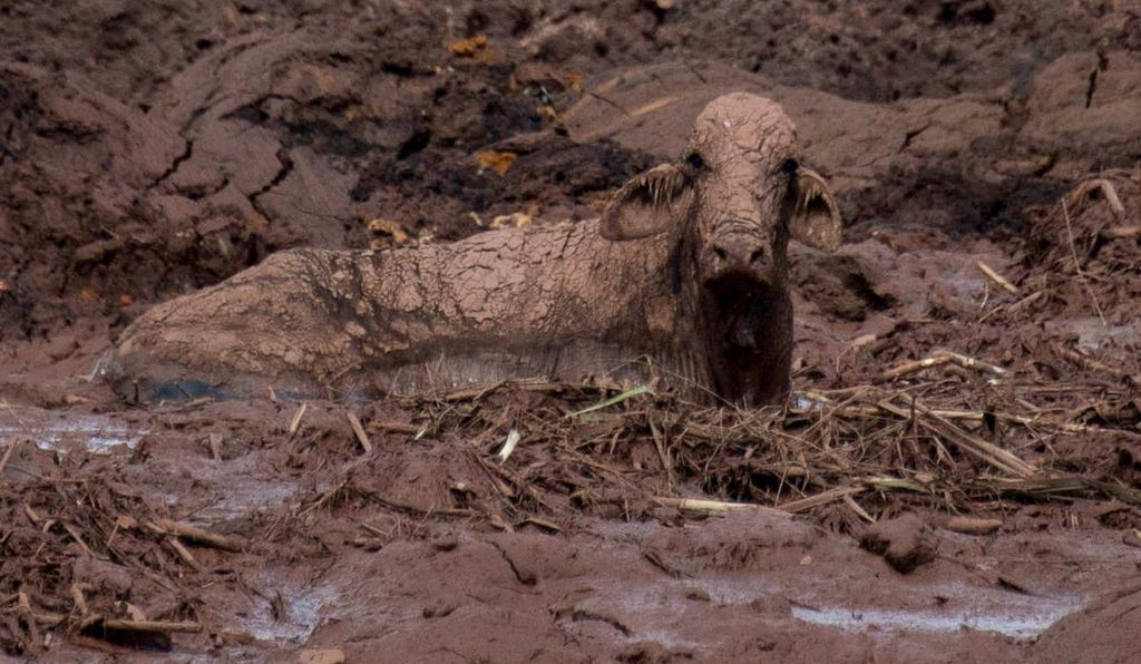 A cow trapped in mud on January 27, two days after a dam collapsed that belonged to one of Brazil's largest mining companies.