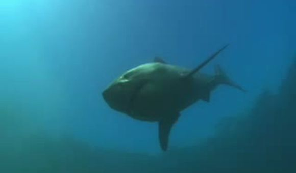 Preview thumbnail for video'South African Great Whites