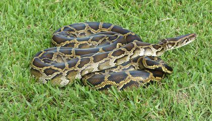 Newly Discovered Hybrid Pythons Are Threatening Florida's Wildlife