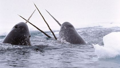 The Narwhals' Unicorn-Like Tusk Can Sense Changes in Its Environment