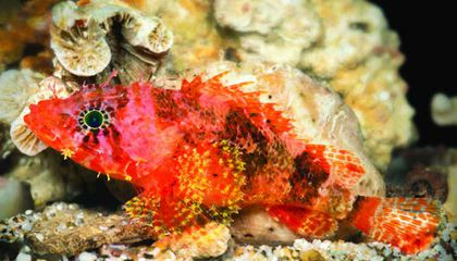 On a Deep Dive in a Custom-Built Submarine, a New Species of Scorpionfish Is Discovered