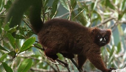 How Do You Pick a Lemur Out of a Lineup? This Software Makes the Leap