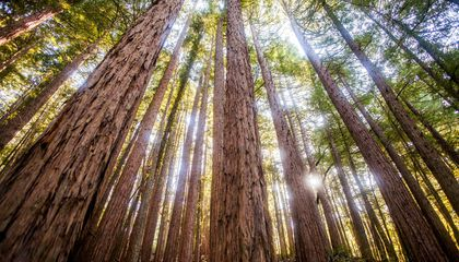 The Tallest Muir Woods Redwood Is Way Younger Than Scientists Expected