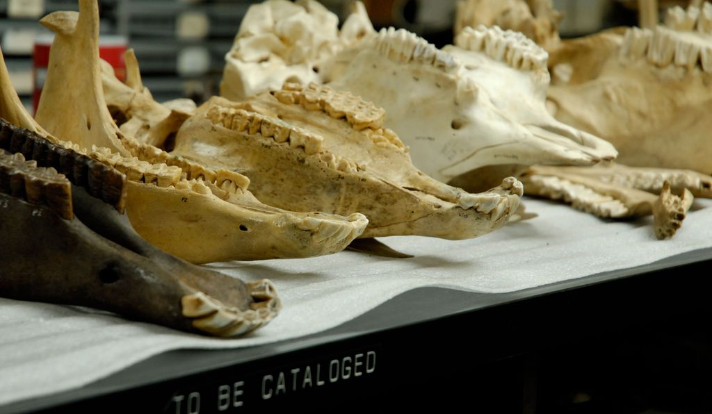 Without exquisite care and organization, fossil collections would be unusable to researchers. Here, modern and fossil herbivore skulls are laid out for comparison at the La Brea Tar Pits' Page Museum in California.