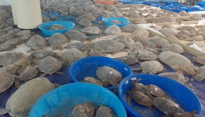 Volunteers Scramble to Save Thousands of Sea Turtles Following Polar Vortex in Texas