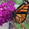 Monarch butterfly sipping nectar.