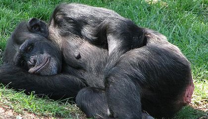 Chimpanzees Sleep in Trees to Escape the Humidity