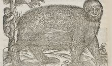 The Strange Nature of the First Printed Illustration of a Sloth