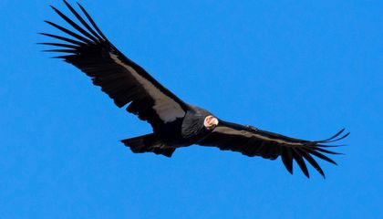 Group of Critically Endangered California Condors Trash Woman's Deck