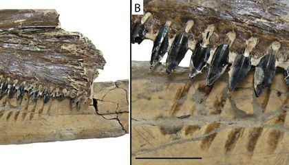Prehistoric Sharks Chowed Down on Pterosaurs