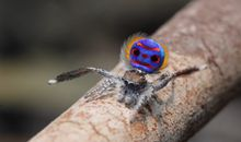 A Nanoscale Light Trick Is the Key to Peacock Spiders' Super-Black Spots