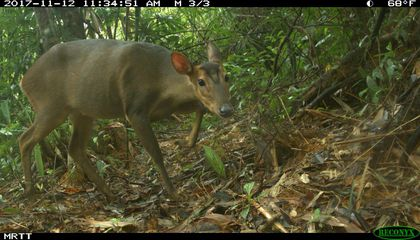 Rare Sighting of Small, Critically Endangered Deer Reported in Vietnam