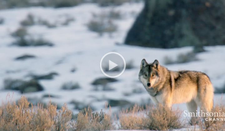 Casey Anderson's Wild Tracks: Wolves on the Hunt