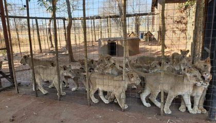 South Africa Announces Plan to End Captive Lion Breeding