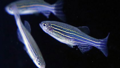 A Single Altered Gene Can Make Fish Fins More Like Limbs