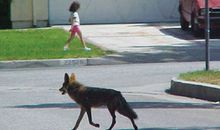 Coyotes in densely populated areas