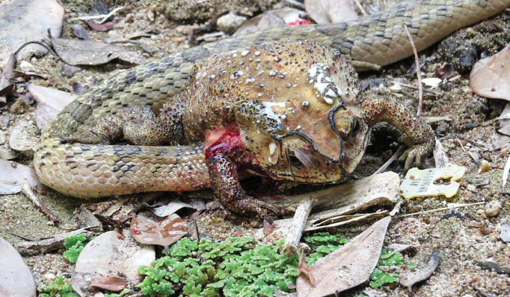 A kukri snake has buried its head into the belly of a living toad.