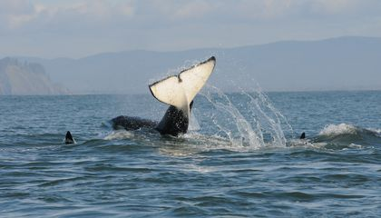 Two Thirds of Southern Resident Orca Pregnancies Fail