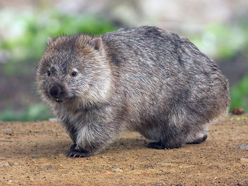 Why Wombats Make Cube-Shaped Poos
