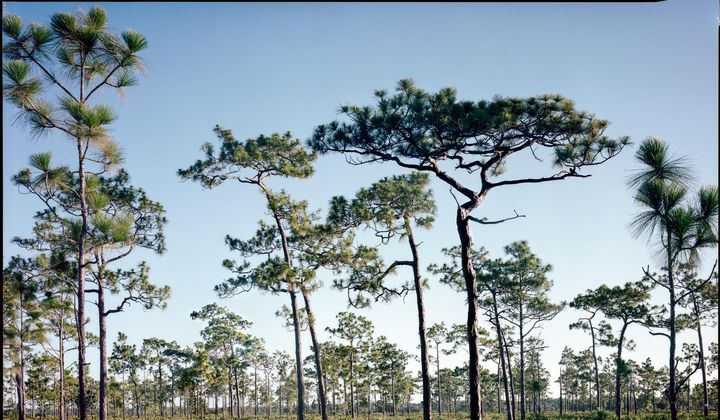 The South's Last Remaining Old-Growth Pine Forests