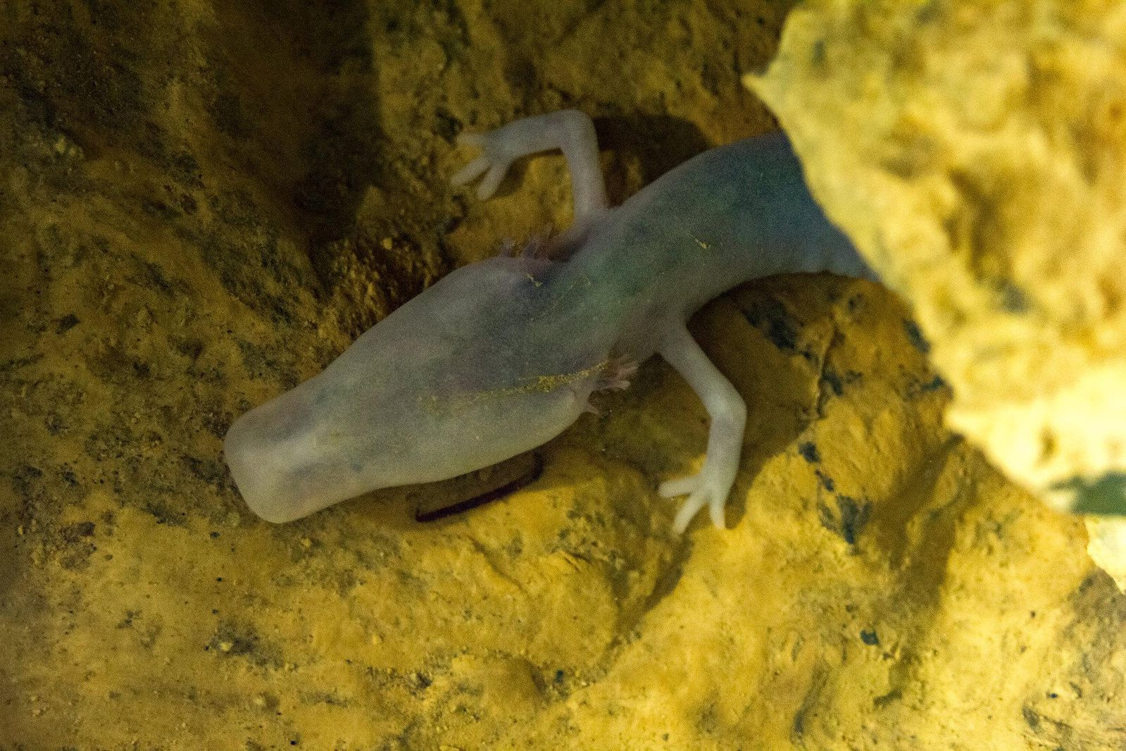 A Cave-Dwelling Salamander Didn't Move for Seven Years