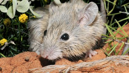Australian Mouse Presumed Extinct for More Than a Century Found Alive on Island