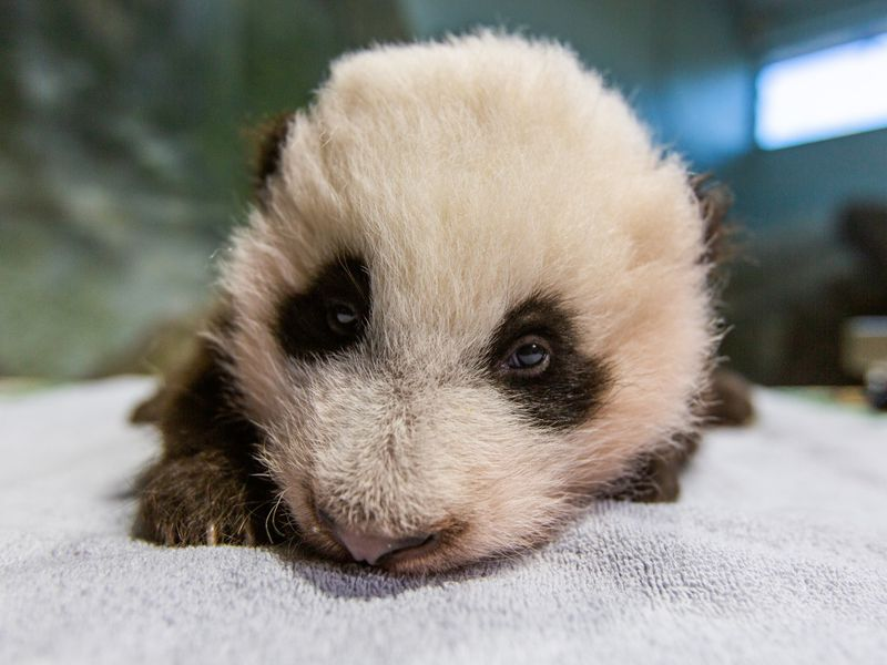 The new giant panda cub