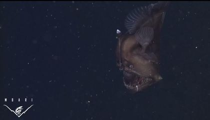 The Black Sea Devil, a Rare Deep-Sea Anglerfish, Filmed for the First Time