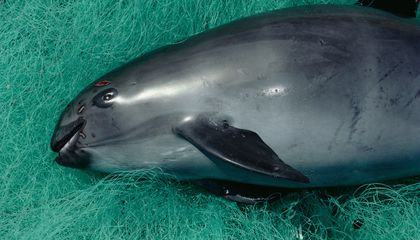 There Are Possibly Only 30 of These Rare Porpoises Left on the Planet