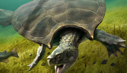 Gigantic Turtles Fought Epic Battles 10 Million Years Ago—and Have the Scars to Prove It