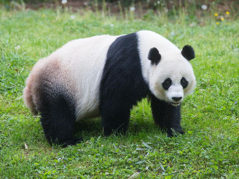 No Panda Cub From the Zoo\'s Mei Xiang This Year | At the Smithsonian ...