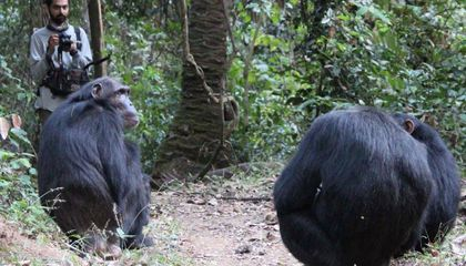 What Can Chimpanzee Calls Tell Us About the Origins of Human Language?