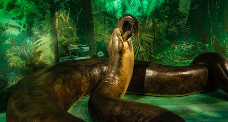 The model of Titanoboa will be on view at the Natural History museum starting tomorrow.