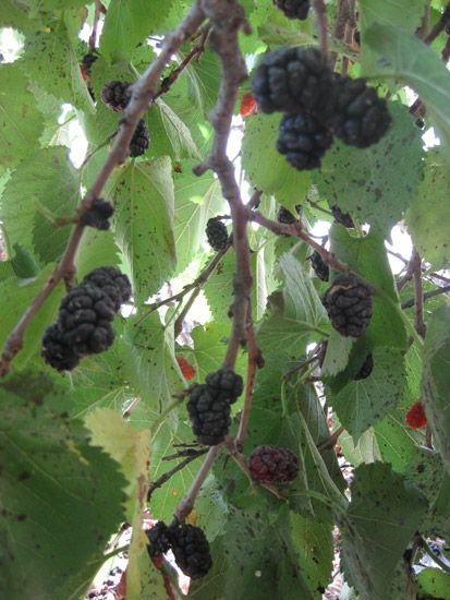 A feast of mulberries in Göreme
