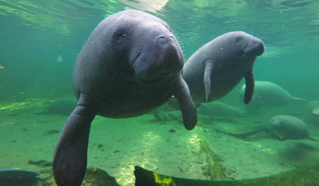 Manatees find refuge in the warm green waters of Blue Spring located at Blue Spring State Park, Orange City, Florida.