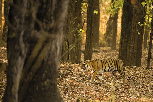 Tigers Are The Worlds Largest Cats And Subspecies In India Here Kanha National Park Is One Of Them All Males Can Weigh More Than