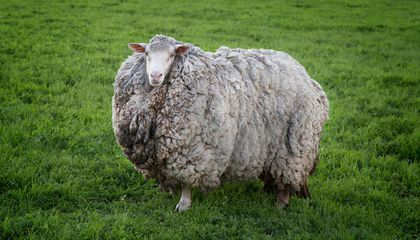 Prickles the Sheep Returns Home After Seven Years on the Lam(b)