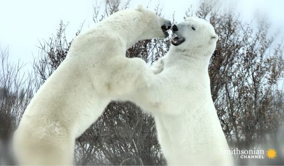 Preview thumbnail for video'A Beloved Alpha Polar Bear Near the End of His Life