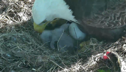 Washington D.C. Welcomes a New Baby Bald Eagle