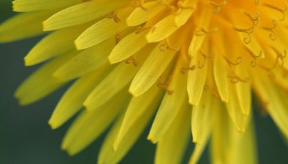 Dandelions—From Lawn to Lunch