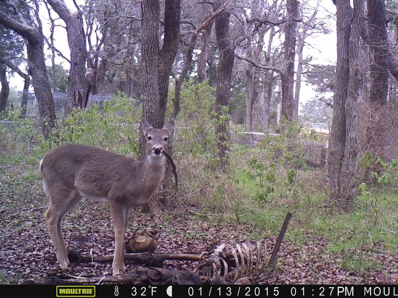 Deer Spotted Eating Human Remains for the First Time Ever