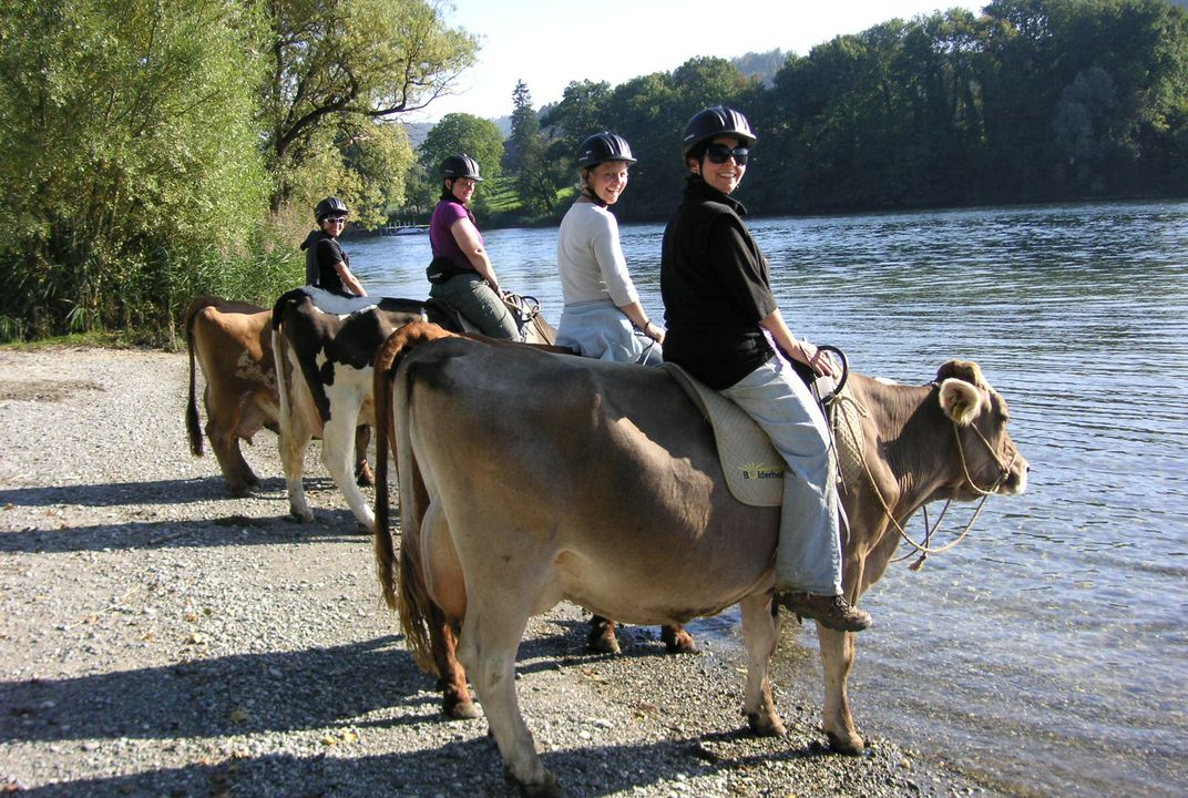 Save A Horse Ride A Cow Through The Swiss Alps Travel