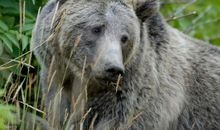 Federal Judge Cancels Yellowstone Grizzly Hunt, Restores Species Protections