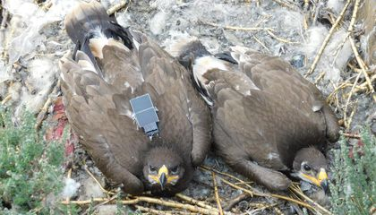 Text Messages Sent by Roaming Eagles Bankrupt Scientific Study