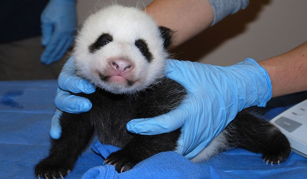 The little panda cub can now open its eyes and push itself up on its front two paws. Photo courtesy of the National Zoo